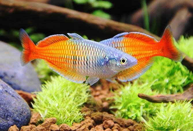 Melanotaenia Boesemani, pesce tropicale dolce