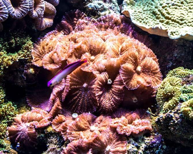 Corallo molle Discosoma in un acquario marino