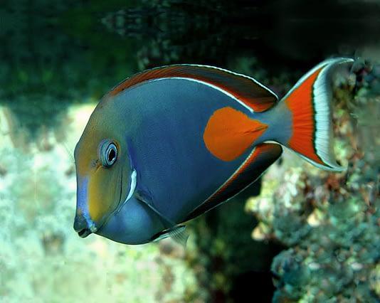Pesce chirurgo reef safe