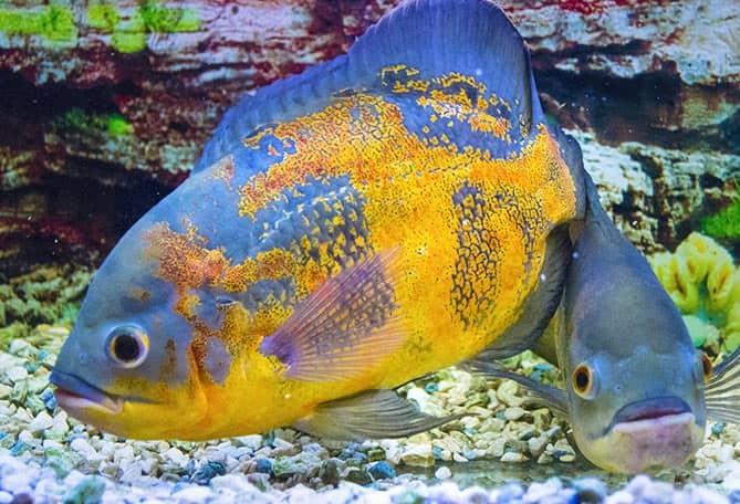 Astronotus Ocellatus pesce tropicale sud america